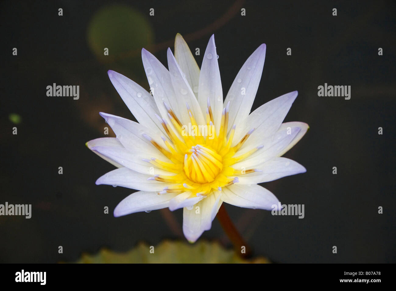 Lotus flower stock photos lotus flower stock images alamy a lotus flower in a large ceramic pot at the entrance to jiangshan park opposite the izmirmasajfo Images