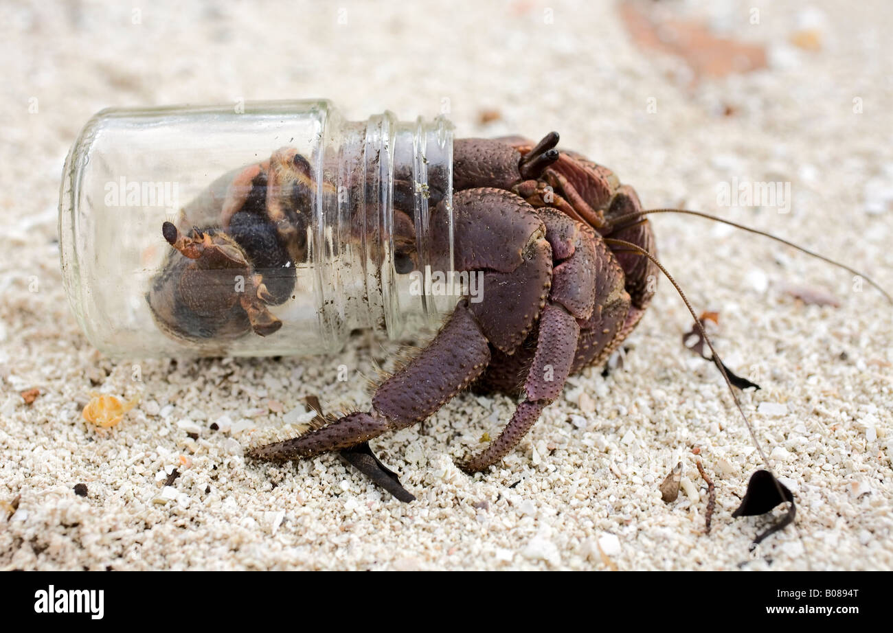 terrestrial-hermit-crab-coenobita-is-capable-of-staying-out-of-the-B0894T.jpg