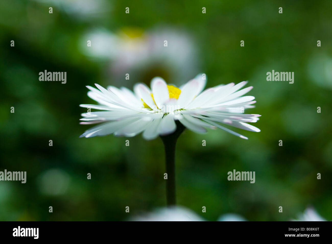 aster, asteraceae, bellis, daisy Stock Photo