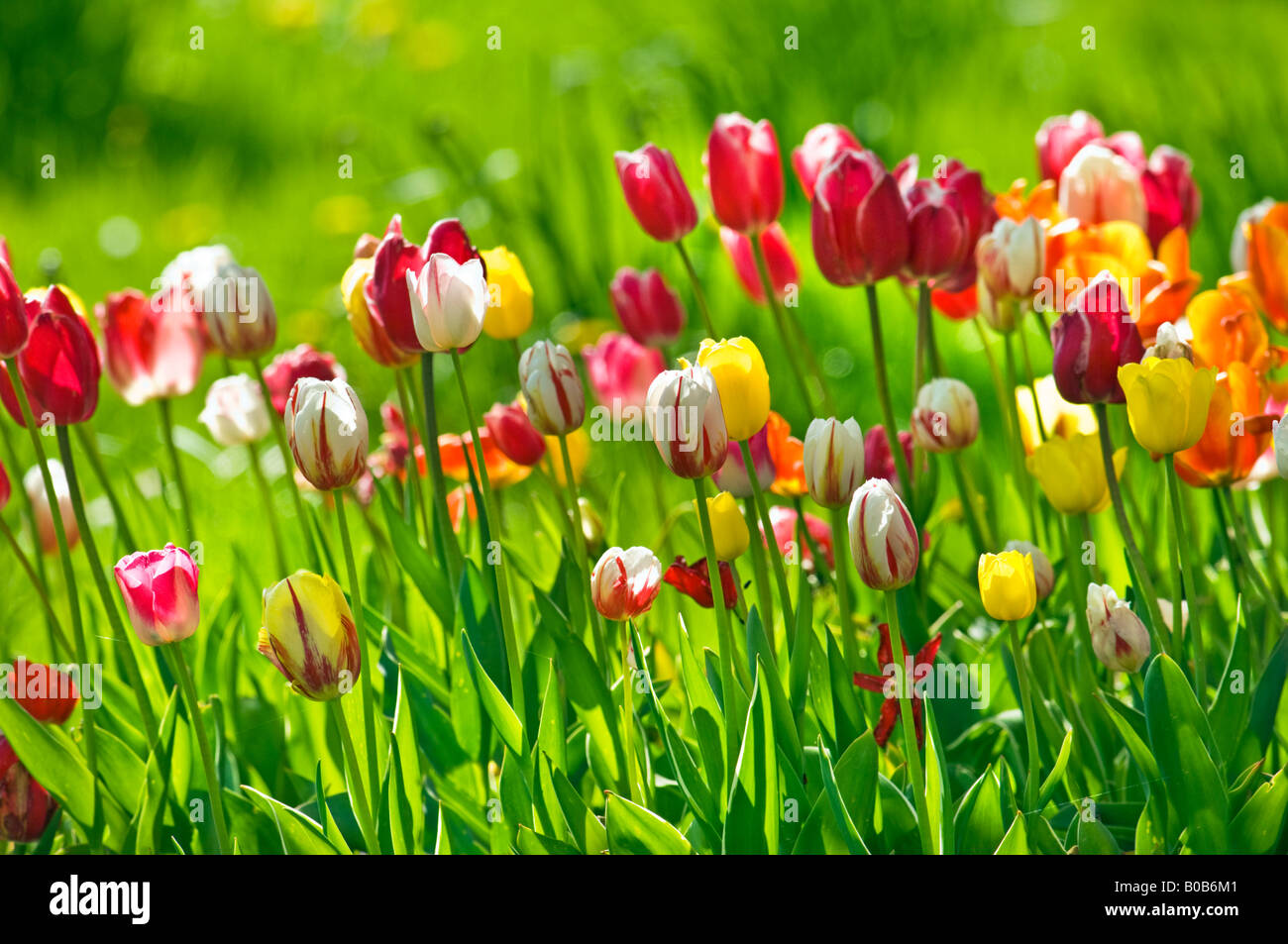 Tulip field flower garden flowers springtime spring plant plants tulip field flower garden flowers springtime spring plant plants green yellow blue red mightylinksfo