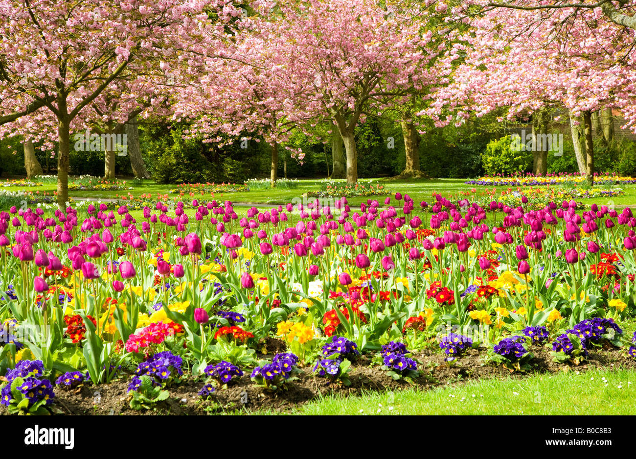 Spring flower beds of tulips and primulas with flowering cherry spring flower beds of tulips and primulas with flowering cherry trees in the town gardens swindon wiltshire england uk mightylinksfo