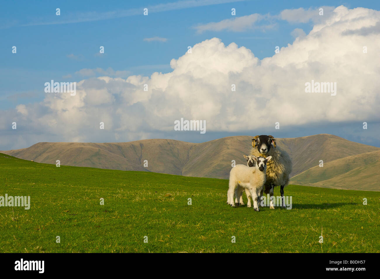 sheep-and-two-lambs-on-firbank-fell-with-howgill-hills-in-the-background-B0DH57.jpg