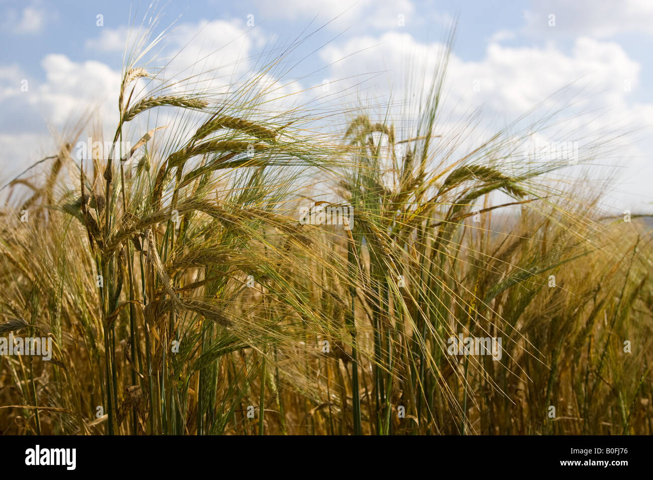 Ripening barley Bourton on the Water The Cotswolds Gloucetershire United Kingdom - Stock Image