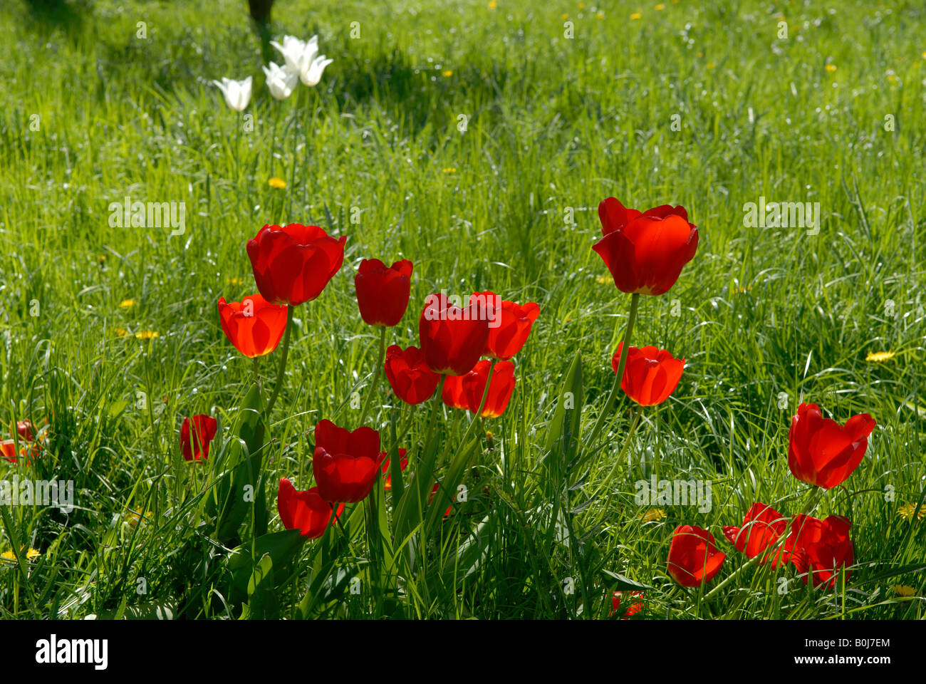 RED TULIPS - Stock Image