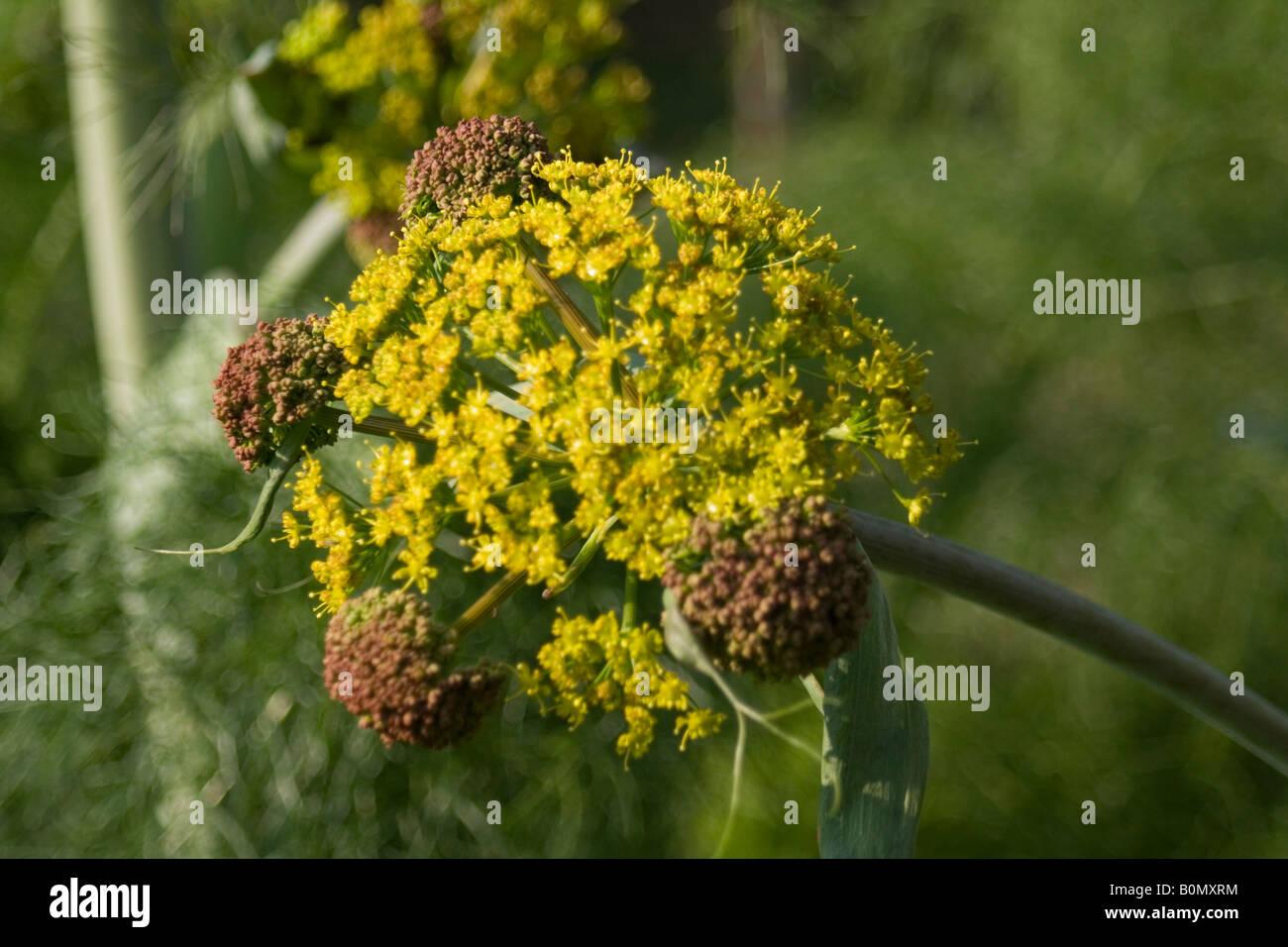 aplaceae ferula communis L fér circumméditérané joseph dupouy nature Stock Photo