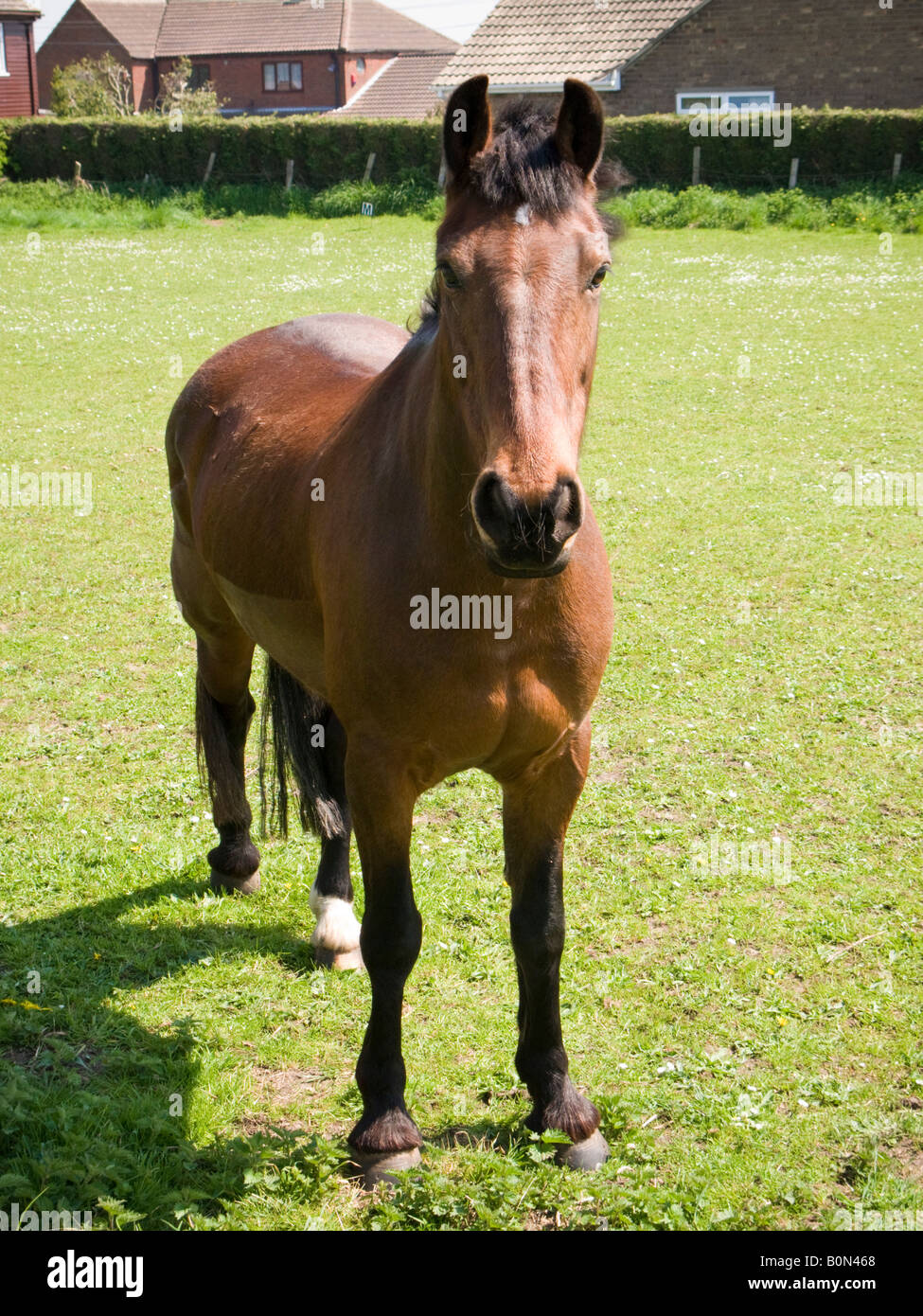 Chestnut brown horse in an urban field looking at camera - Stock Image