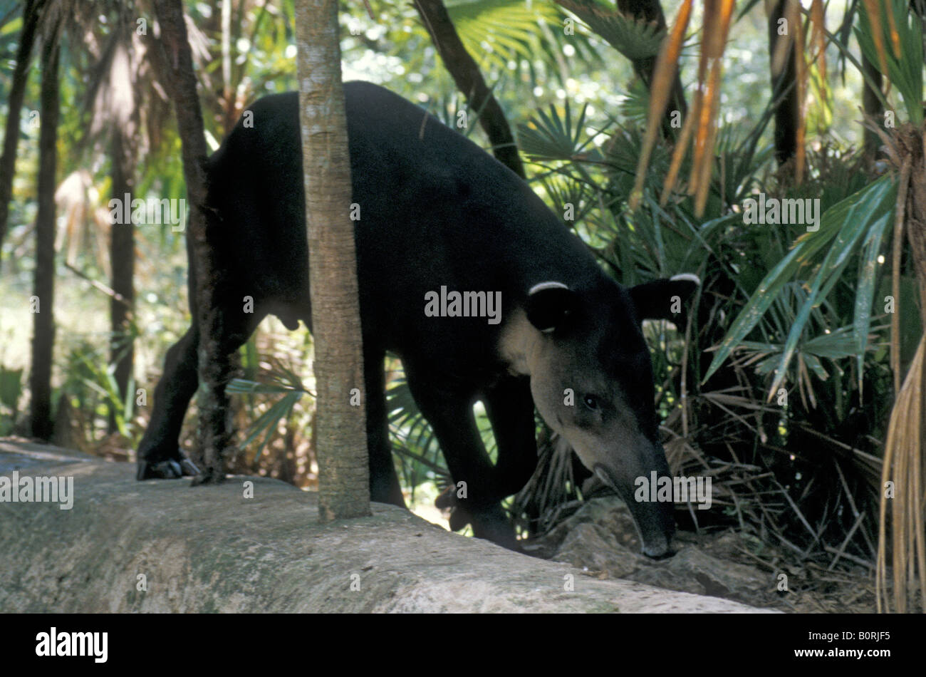 central-american-tapir-or-bairds-tapir-t