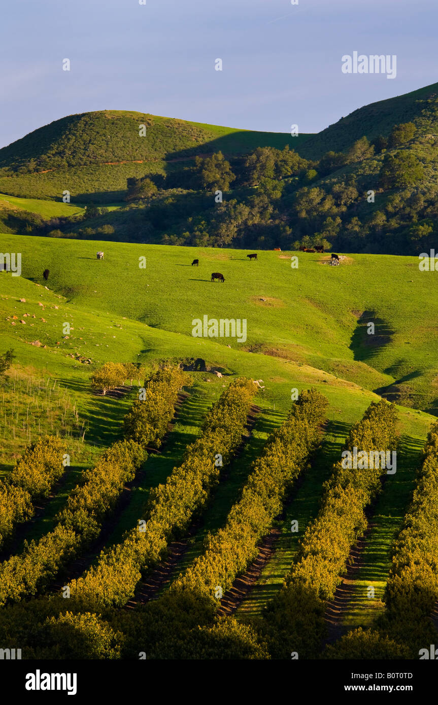 Avocado Orchard and green hills in Spring Old Creek Road near Cayucos California Stock Photo