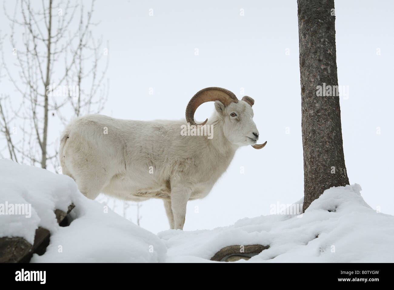 dall sheep - standing in the snow / Ovis dalli - Stock Image