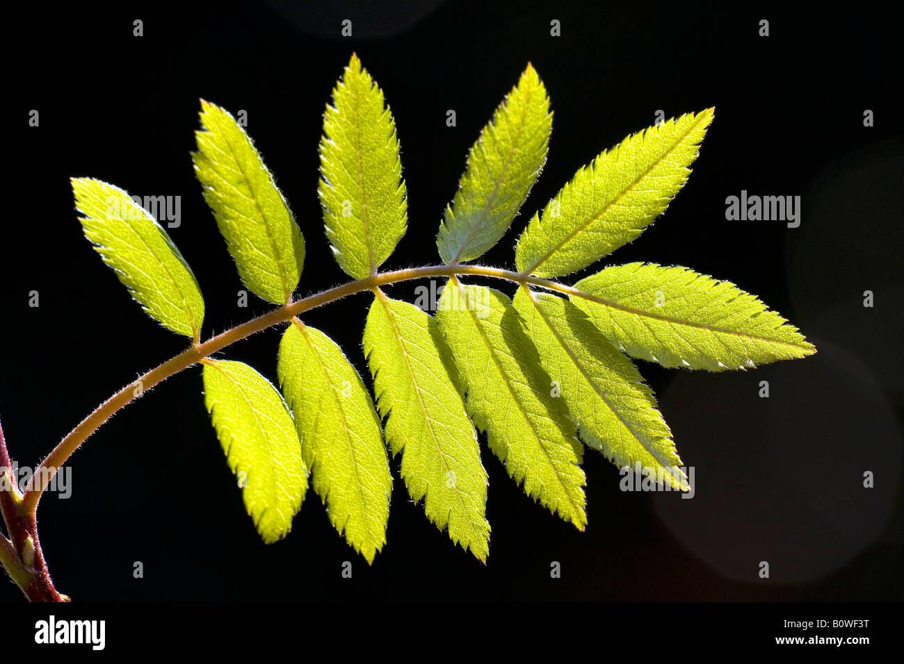 European Rowan leaves, Mountain Ash, (Sorbus aucuparia), spring foliage, shoots, backlight, photosynthesis - Stock Image