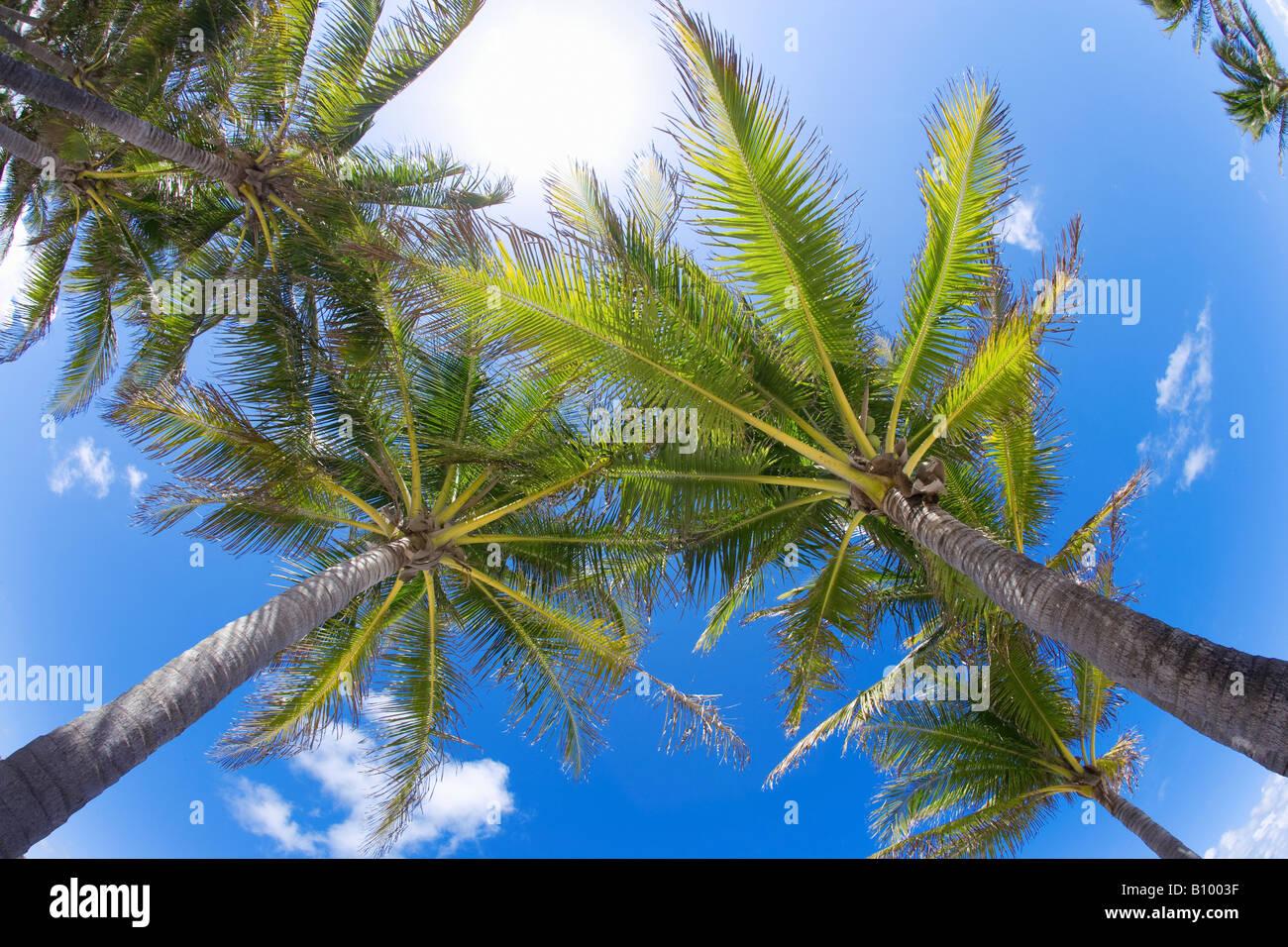 coconut palm trees, upward view in Miami Beach, Florida - Stock Image