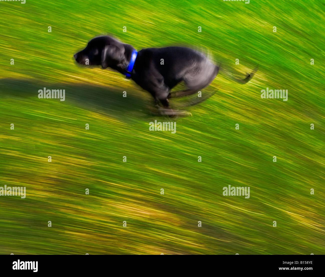 A black dog running - Stock Image