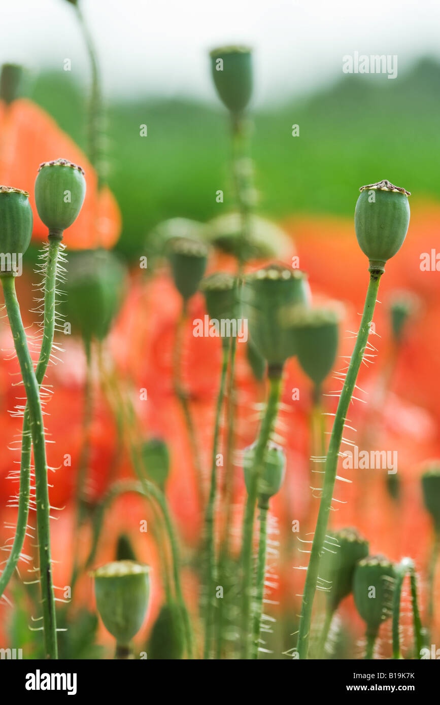 Poppy seed pods in field close up stock photo 18037703 alamy poppy seed pods in field close up mightylinksfo