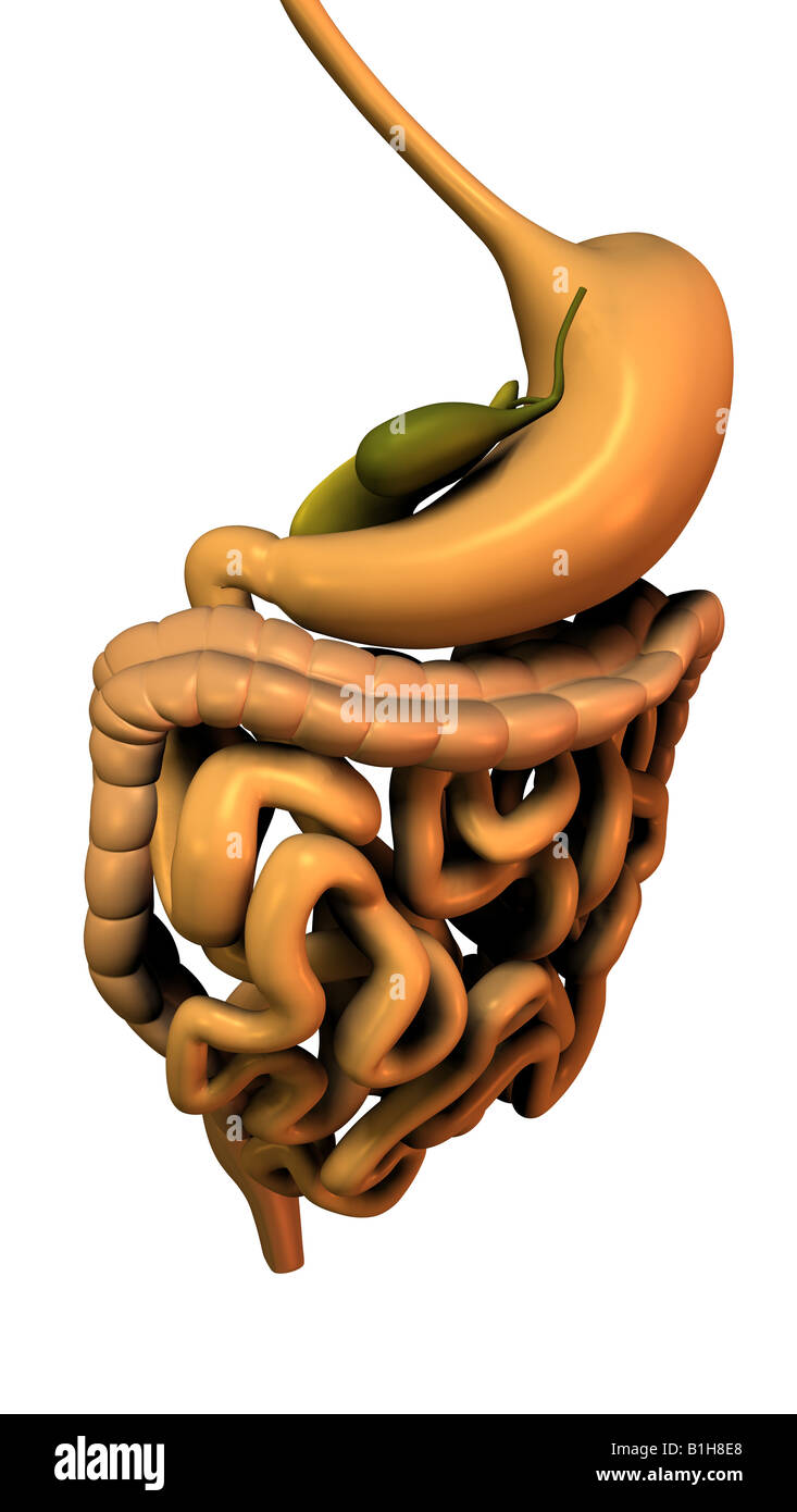 anatomy digestion pancreas gallbladder Stock Photo: 18204880 - Alamy