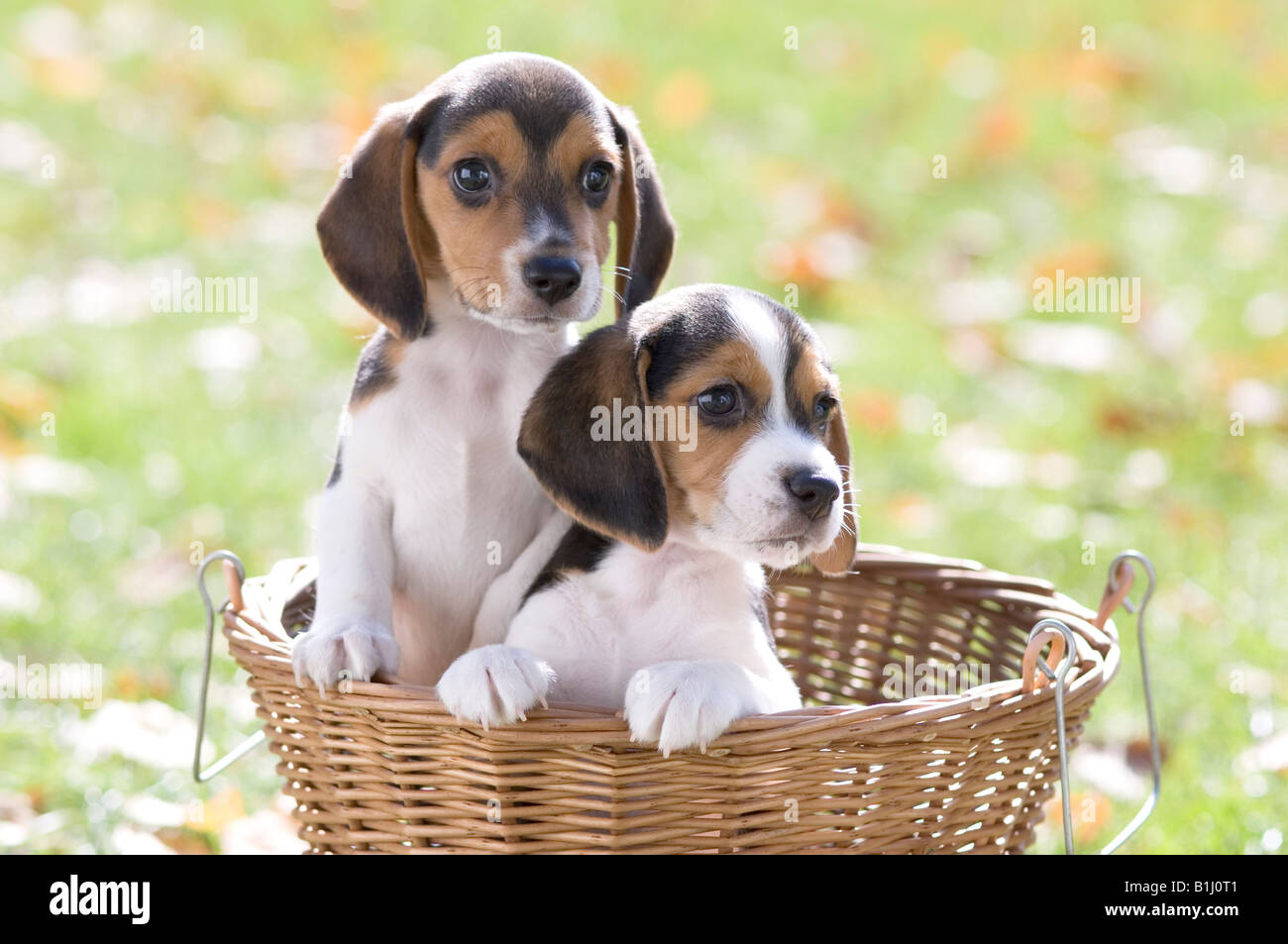 Best Two Beagle Adorable Dog - two-beagle-puppies-in-a-wicker-basket-B1J0T1  2018_383466  .jpg