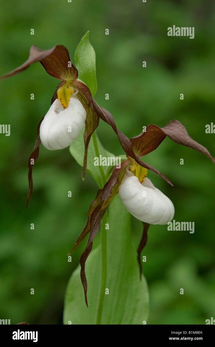 Seeds Cypripedium montanum MOUNTAIN LADY/'S SLIPPER ORCHID
