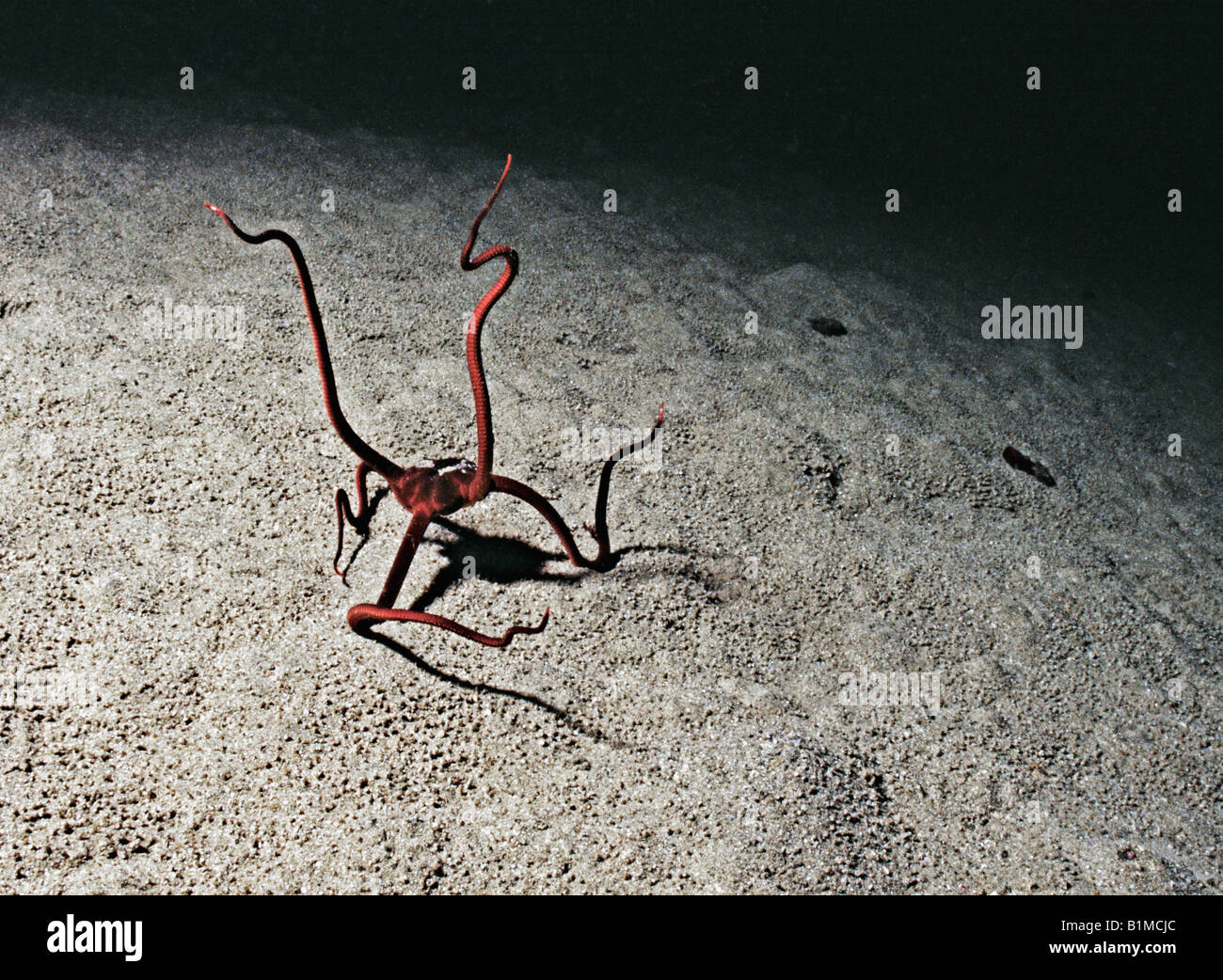 Snake Star Ophiophagus maculatus, arms raised for suspension feeding, mucus on arms catching suspended plankton - Stock Image