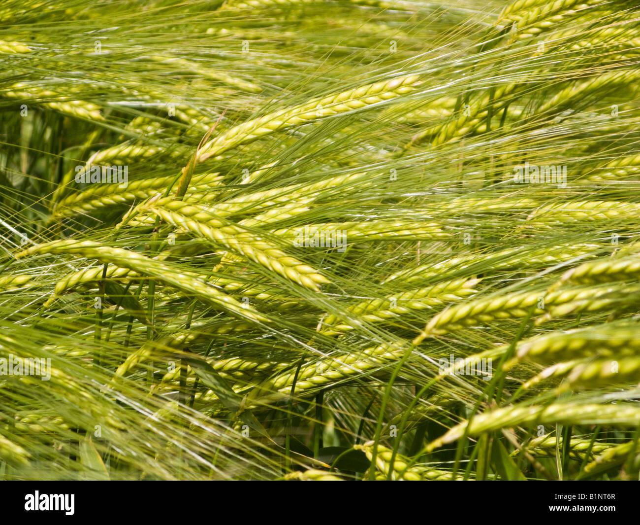 Barley crop close up UK - Stock Image