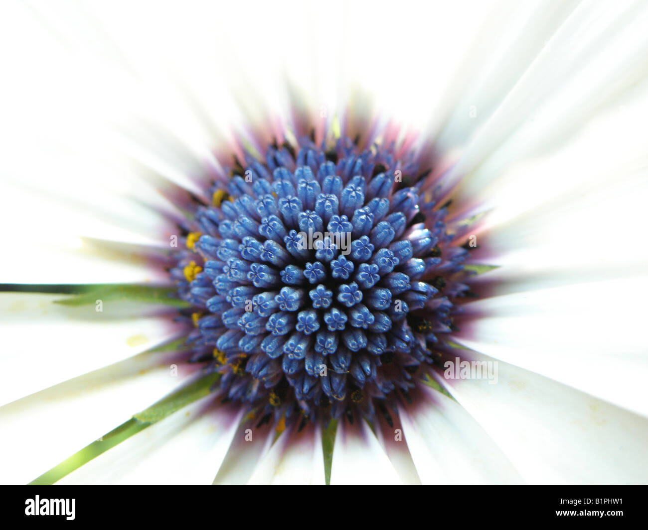 White Flowers With Navy Blue Center Choice Image Flower Decoration