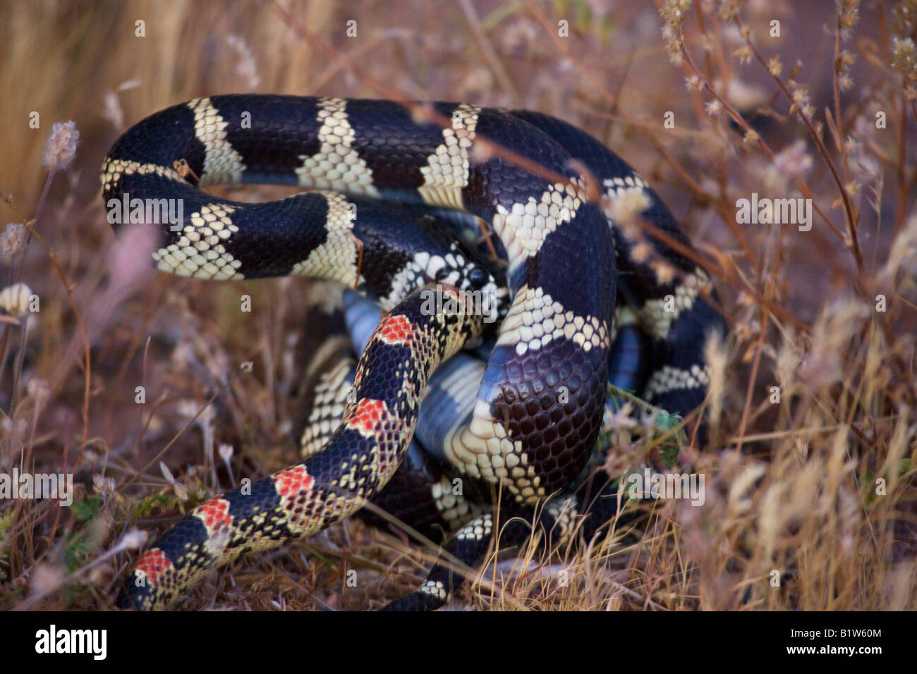 A Common King Snake attacks a Long nosed snake  near Fountain Hills outside of Phoenix Arizona - Stock Image