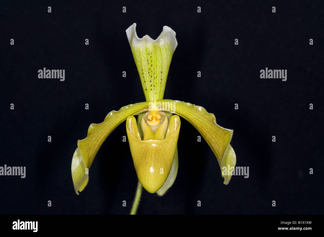 Yellow Slipper Orchid Flower Paphiopedilum Stock Photo 18397313
