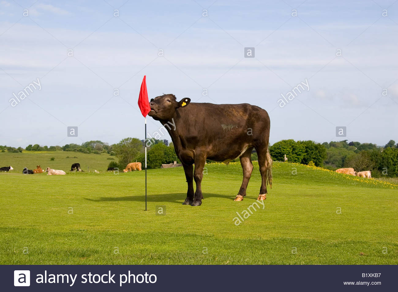 cattle-on-the-putting-green-on-minchinhampton-common-gloucestershire-B1XKB7.jpg