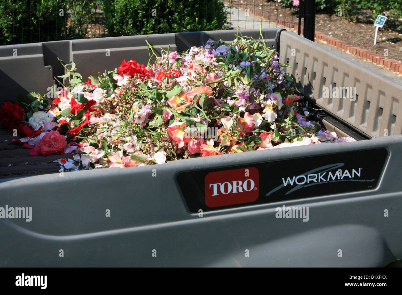 The bed of a garden cart filled with rose clippings. - Stock Image