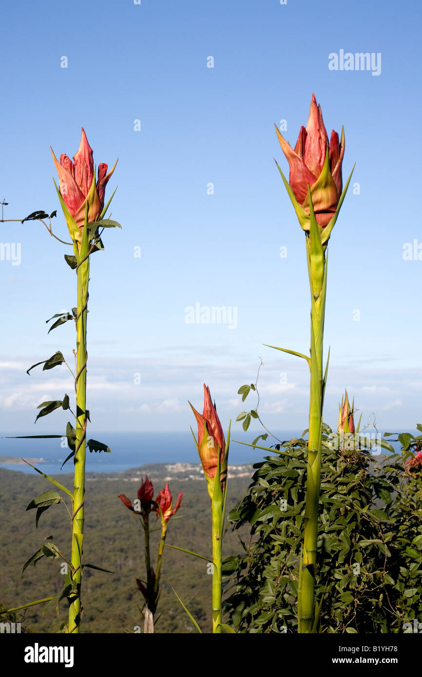 gymea-lilies-doryanthes-excelsa-are-spectacular-australian-native-B1YH78.jpg