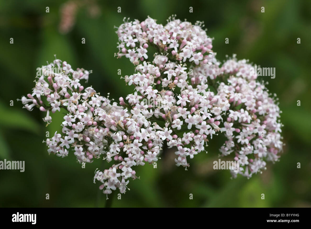 Pink valerian, Valeriana officinalis, flowers. - Stock Image