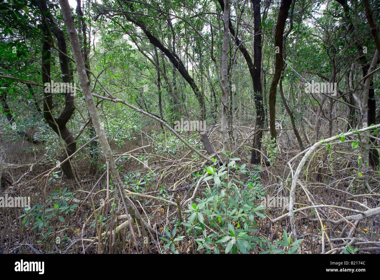 dense forest in Everglades National Park, Florida, USA - Stock Image