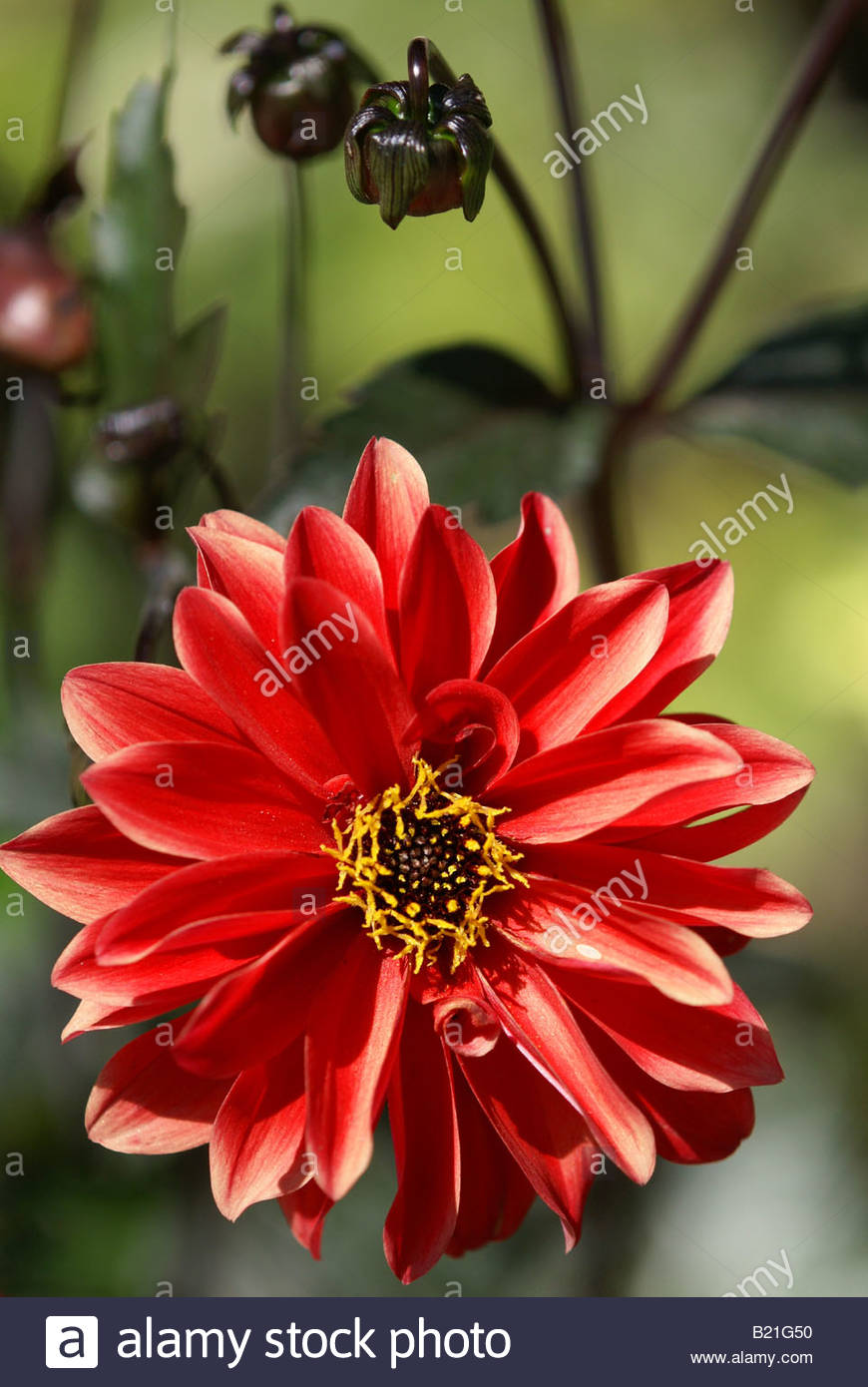 dahlia-bishop-of-llandaff-B21G50.jpg