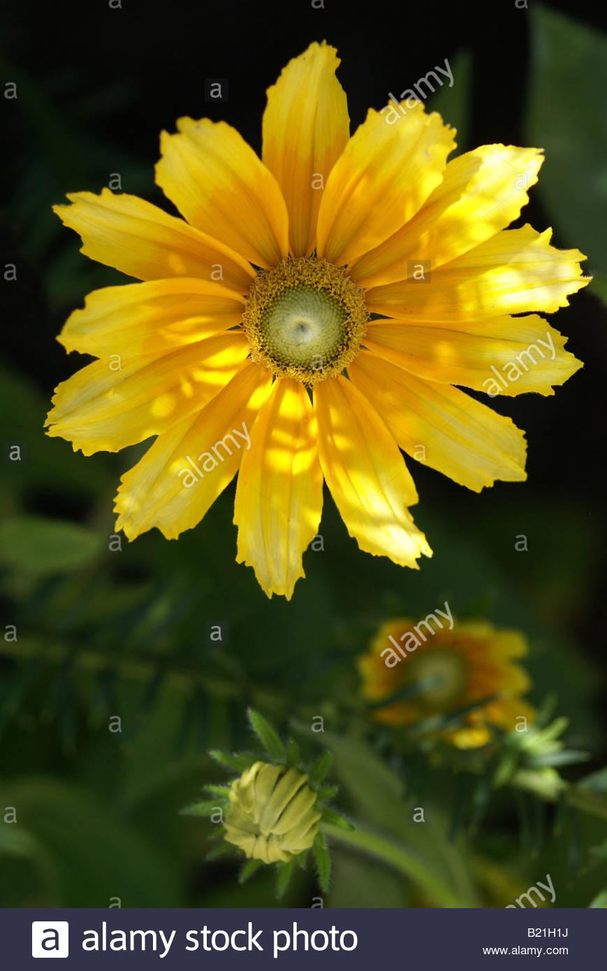 yellow-rudbeckia-B21H1J.jpg