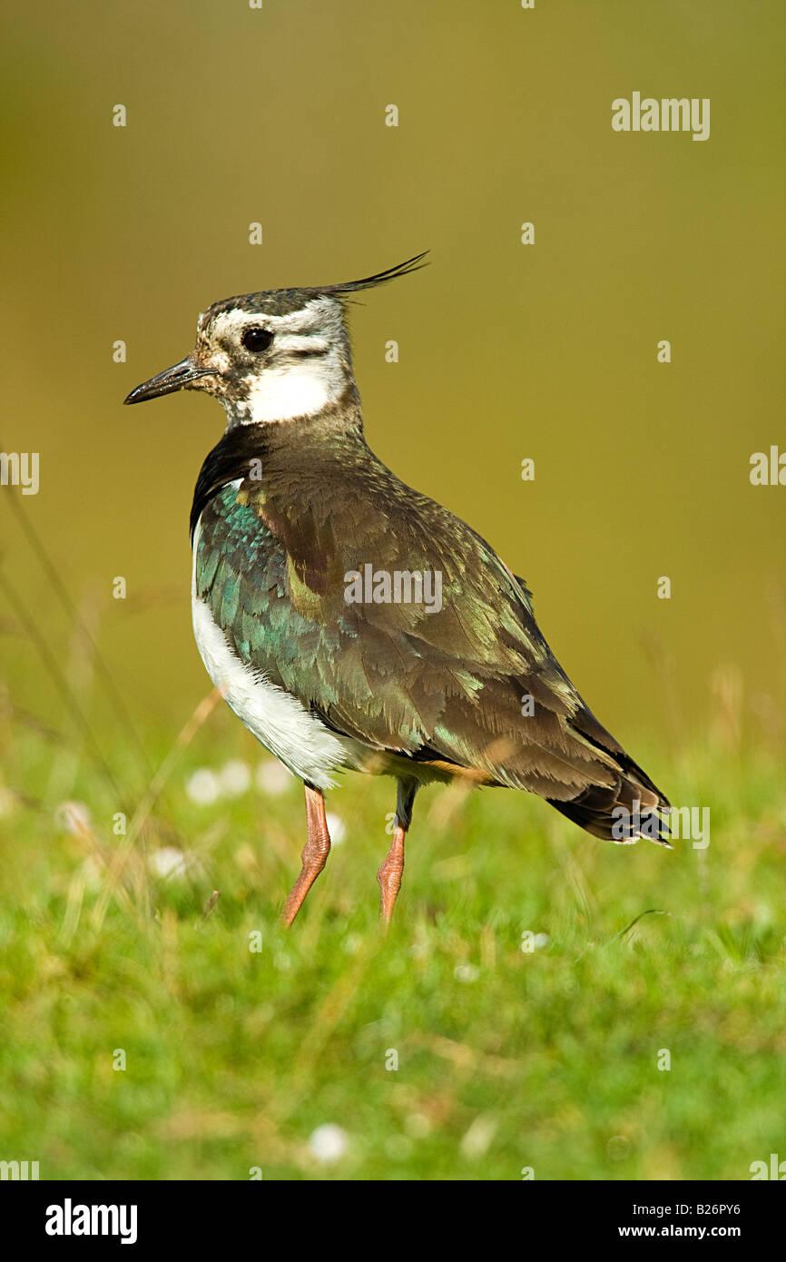 LAPWING (Vanellus vanellus) - Stock Image