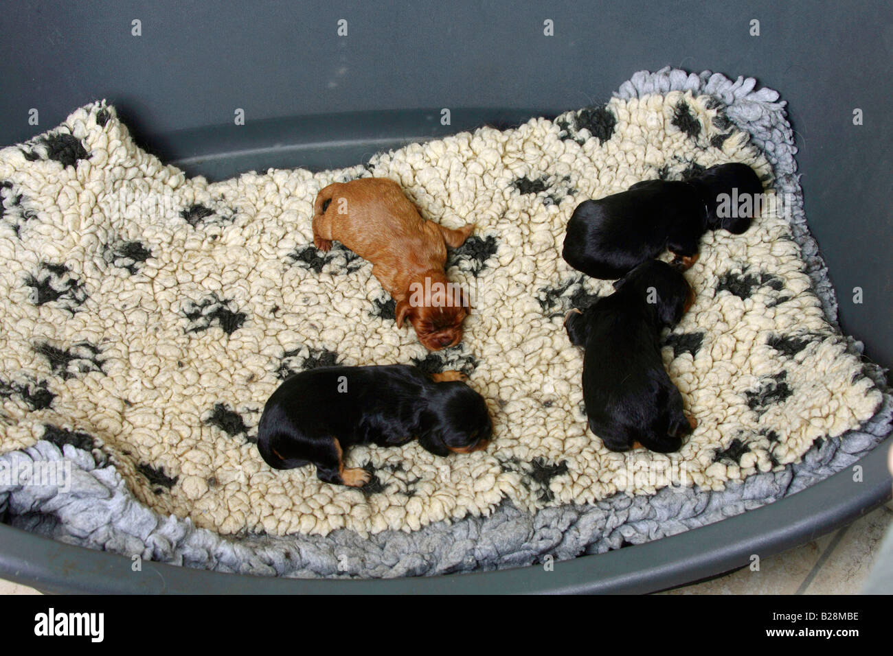 Cavalier King Charles Spaniel puppies black and tan and ruby 8 days searching for body contact sequence 2 4 - Stock Image