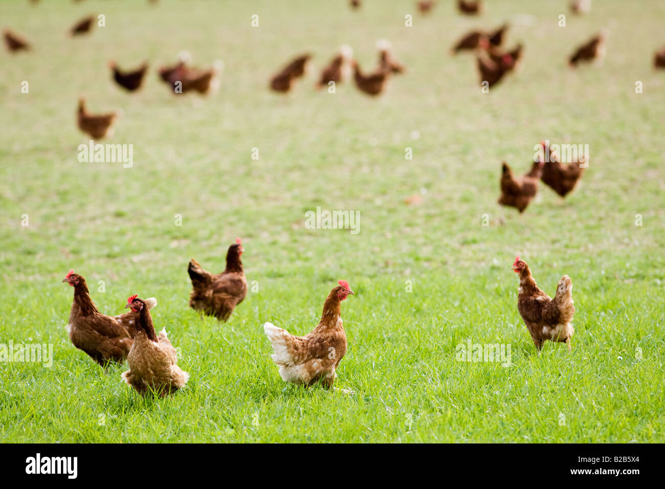 Free range chickens and hens Stow On The Wold Oxfordshire United Kingdom - Stock Image