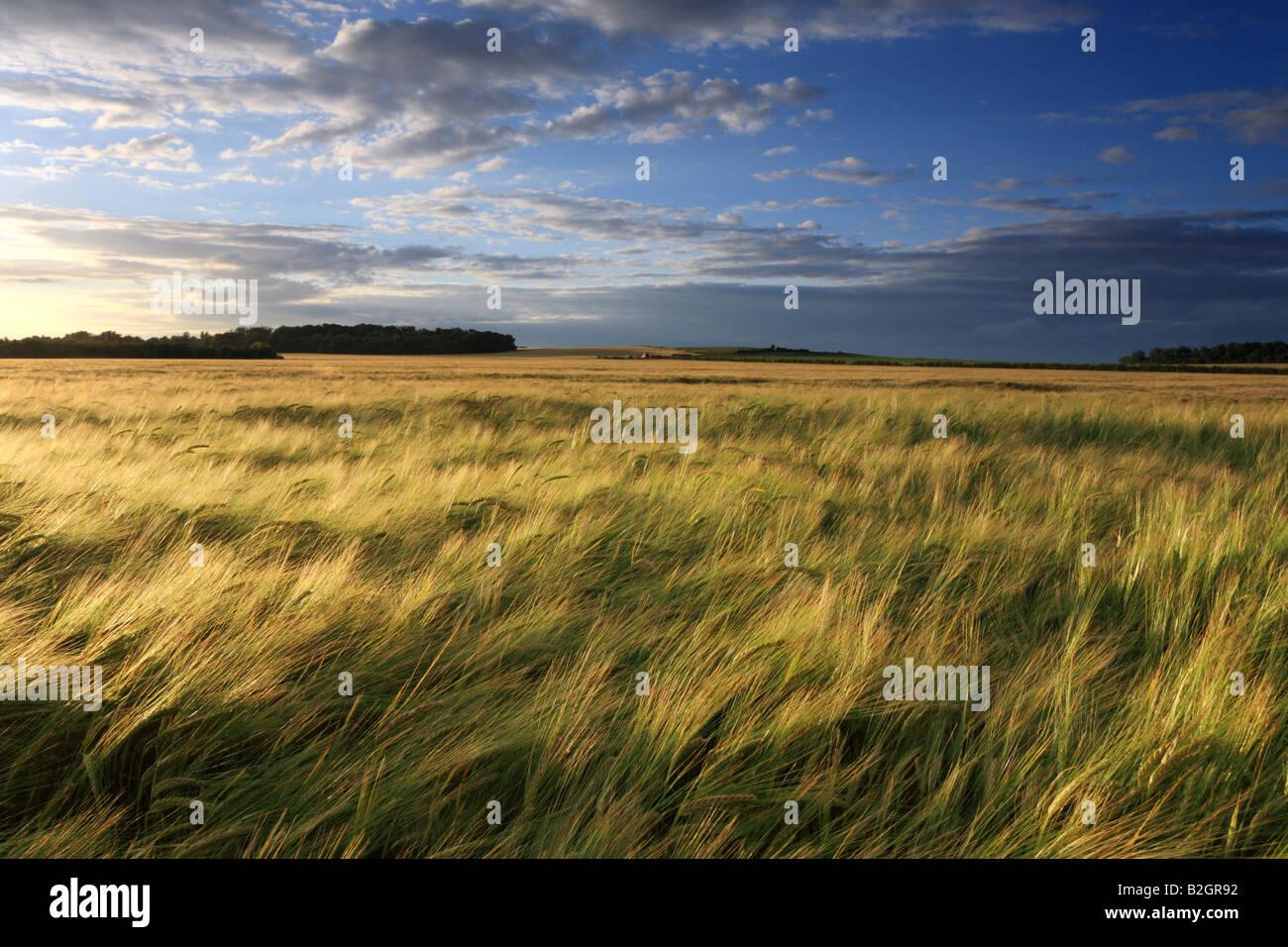 Barley field and Sunset looking towards Wandlebury, Cambridge. - Stock Image