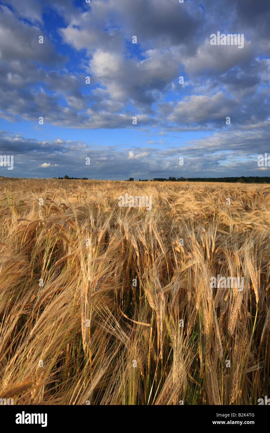 'Field of Barley' fields in South Cambridge. - Stock Image