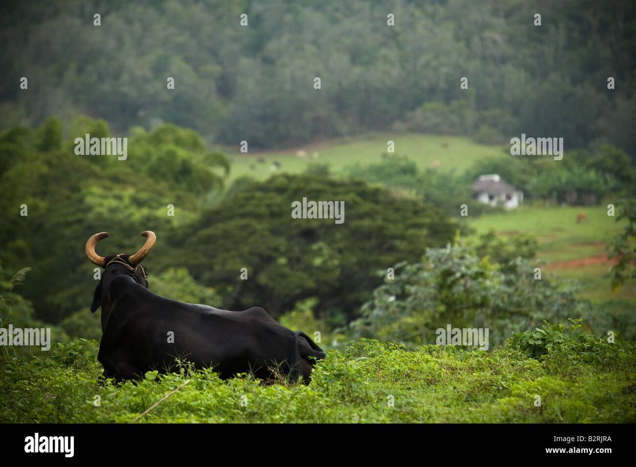 Bull lying in a field near Vinales, Cuba - Stock Image
