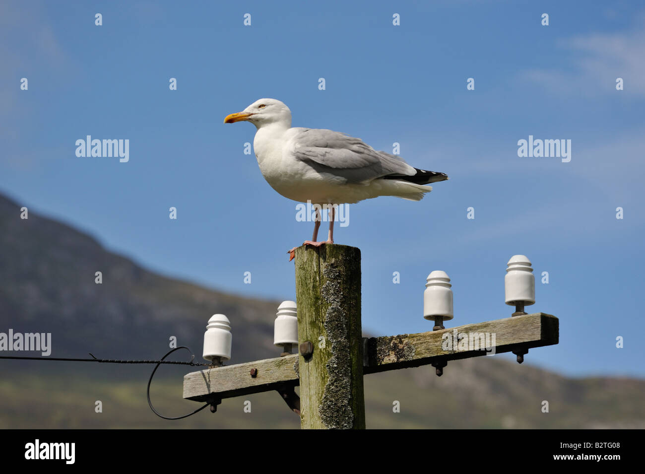 herring-gull-larus-argentatus-pontoppidan-perching-on-an-old-telegraph-B2TG08.jpg