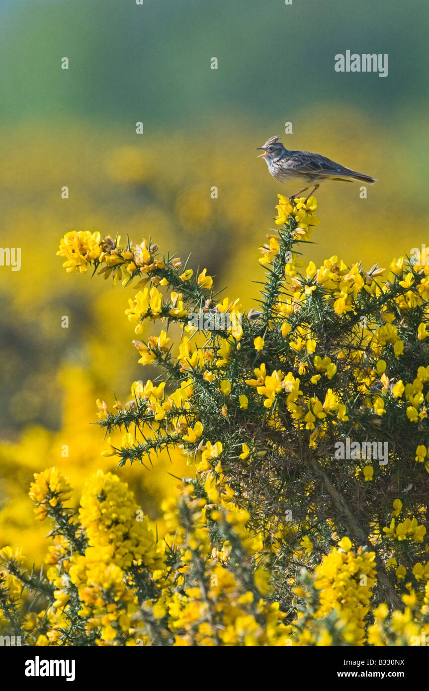 Skylark Alauda arvensis in song Norfolk April - Stock Image