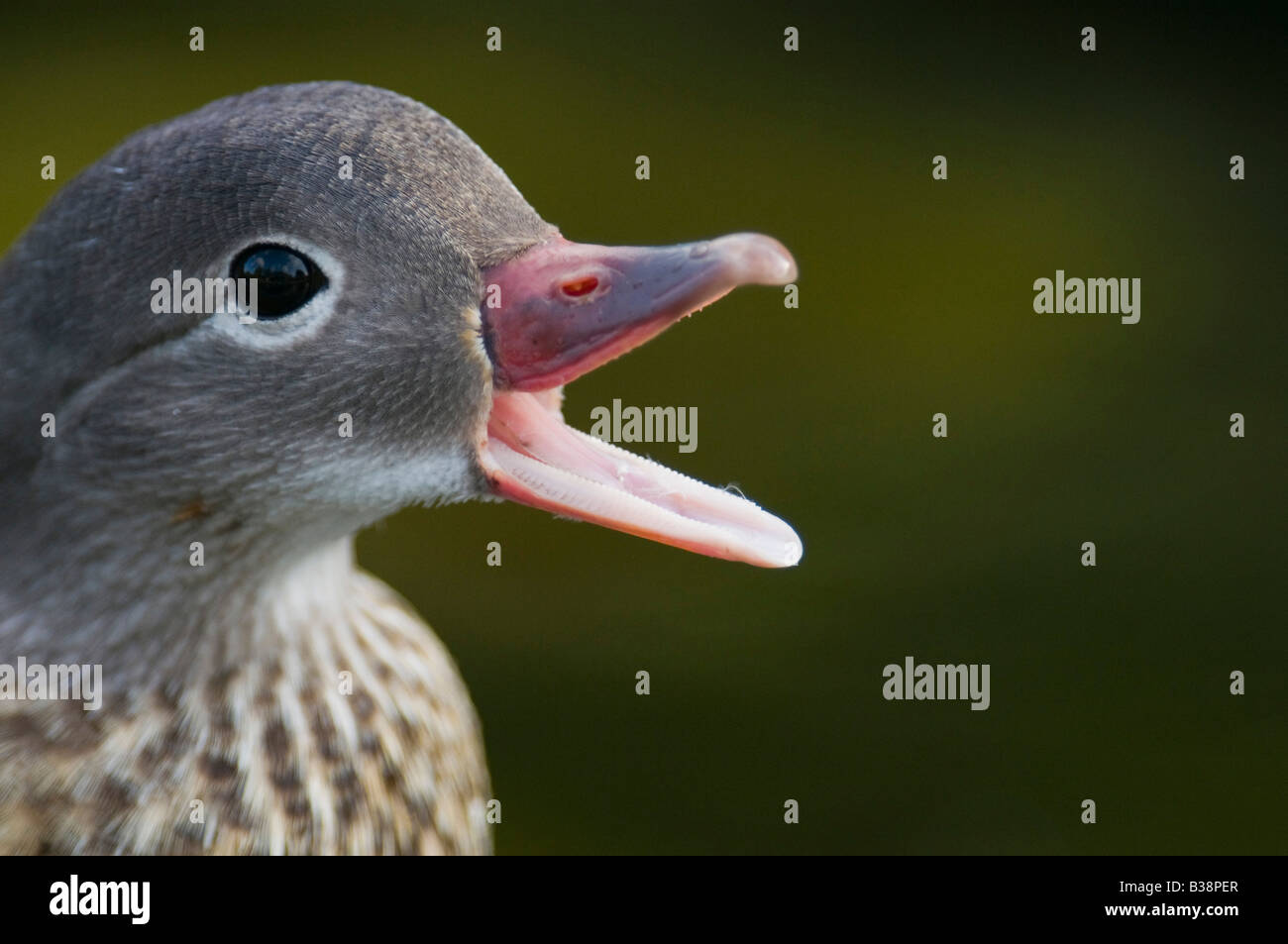 Gadwall Anas strpera Duck shouting at passers by. - Stock Image