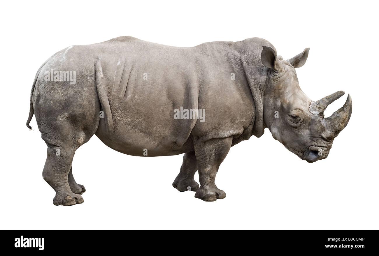 White rhino Ceratotherium simum old male isolated on white background - Stock Image