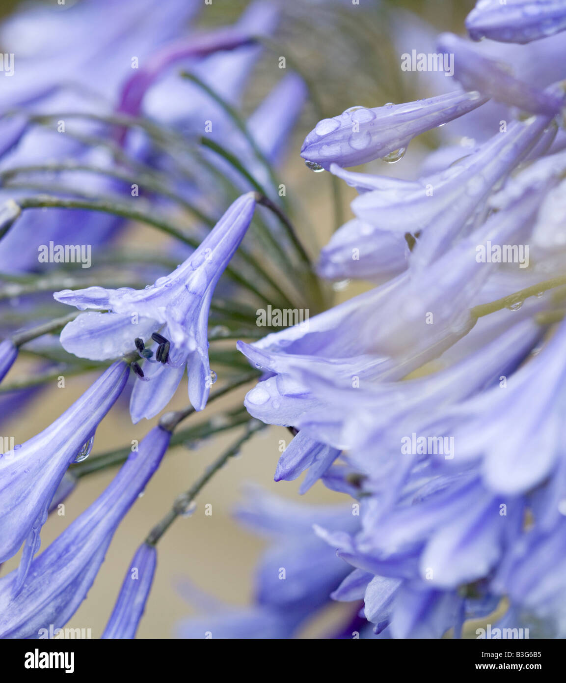 Agapanthus Lily Of The Nile Stock Photo 19410585 Alamy