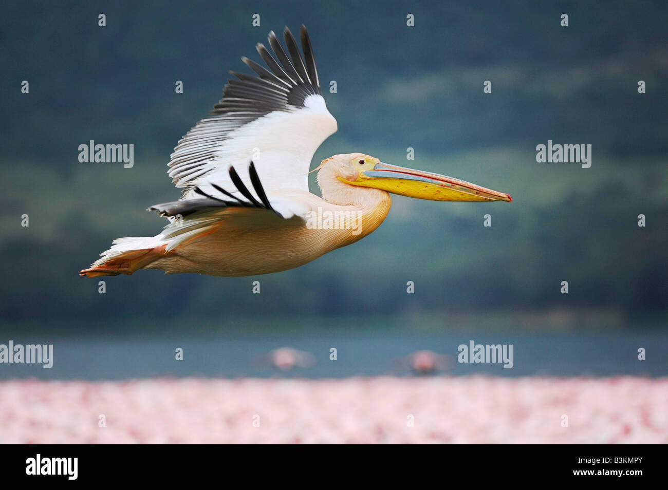 Eastern White Pelican Pelecanus onocrotalus adult in flight Lake Nakuru Kenya Africa - Stock Image