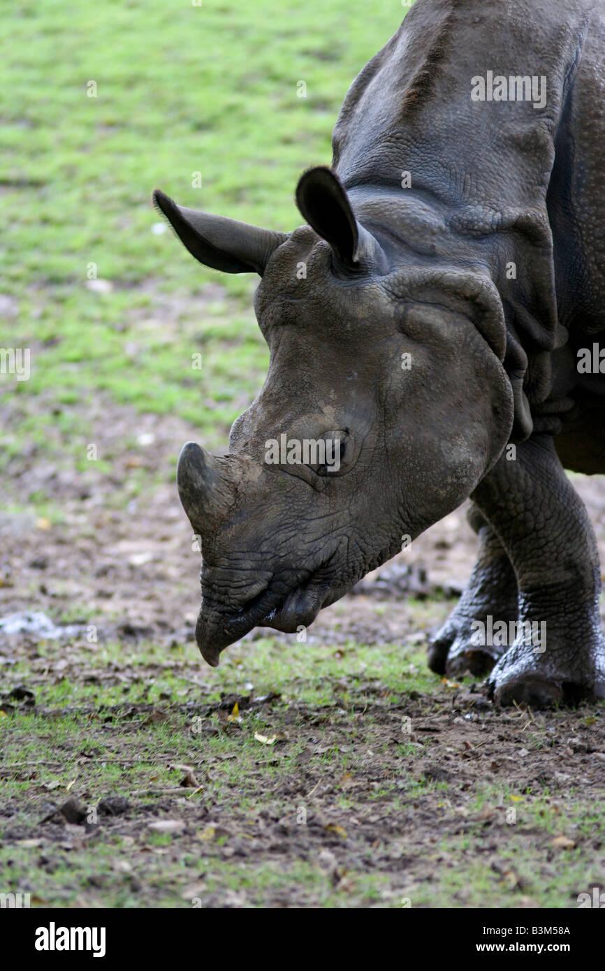 Great indian rhino - Stock Image