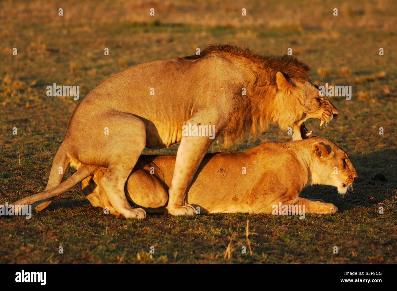 African Lion Panthera leo pair mating Masai Mara Kenya ...