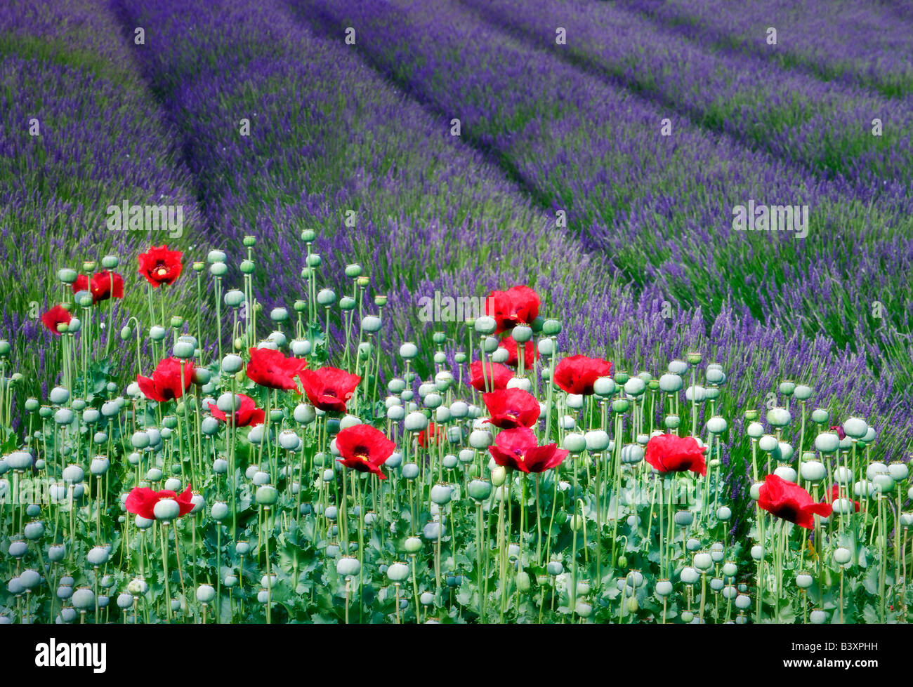 Red poppies and lavender field Jardin du Soleil Washington - Stock Image