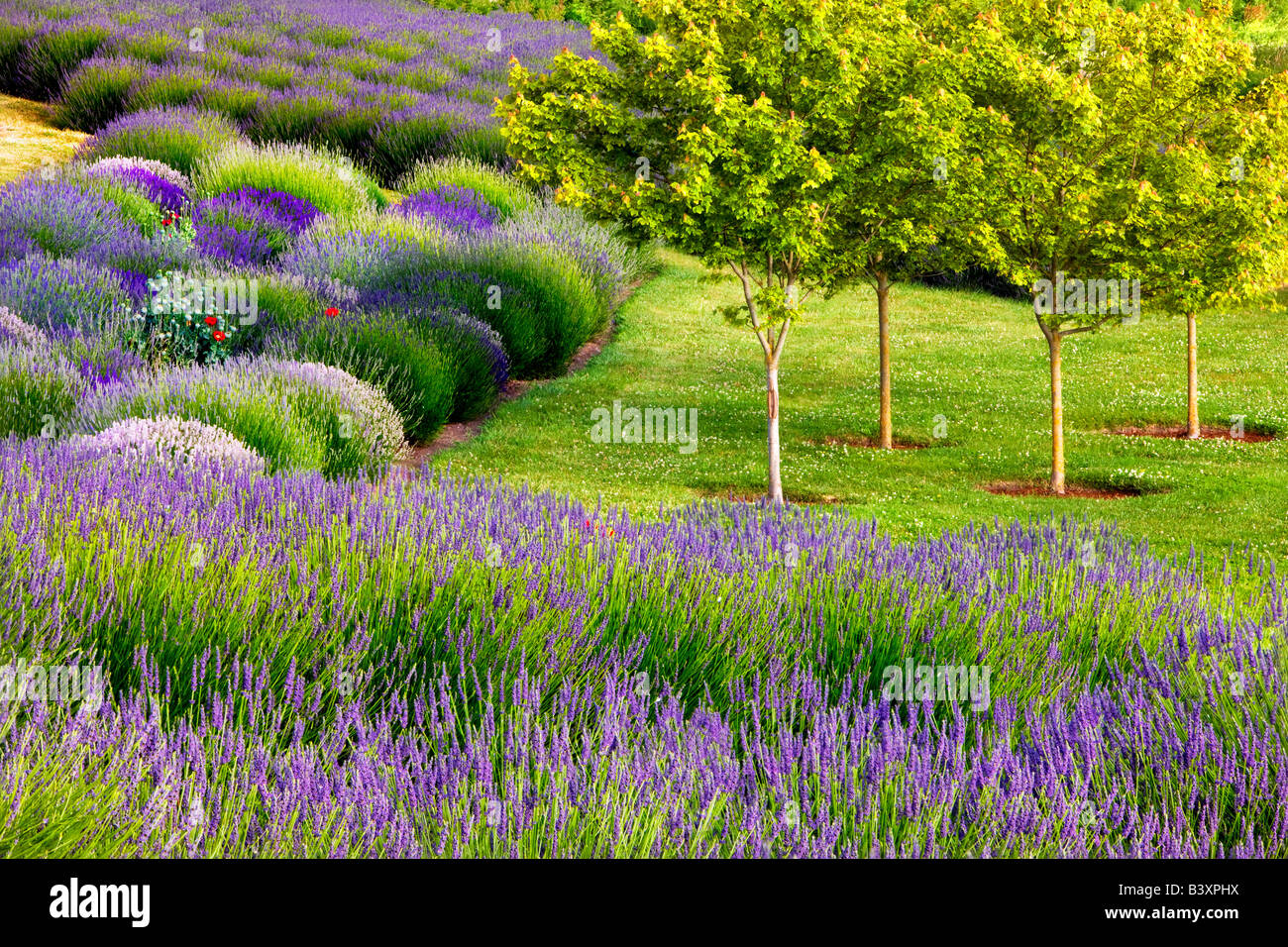 Jardin du Soleil lavendar farm Washington - Stock Image