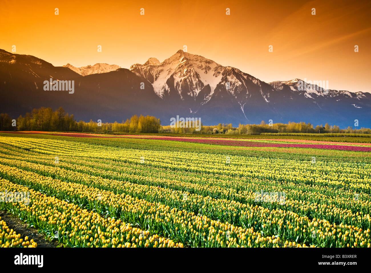 Tulip cultivation, British Columbia, Canada - Stock Image