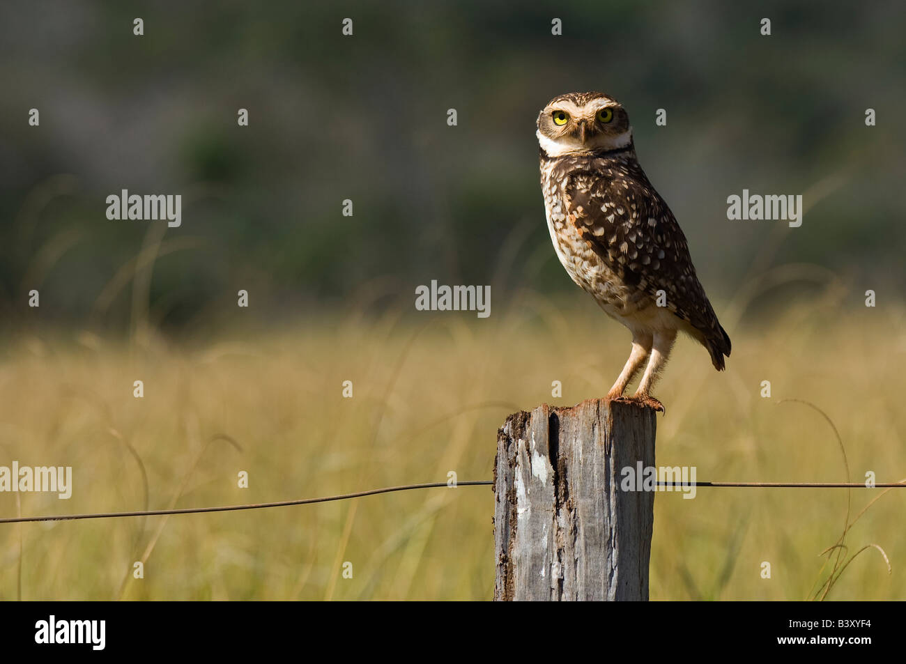 Burrowing Owl Athene cunicularia photographed in Mato Grosso do Sul Brazil - Stock Image